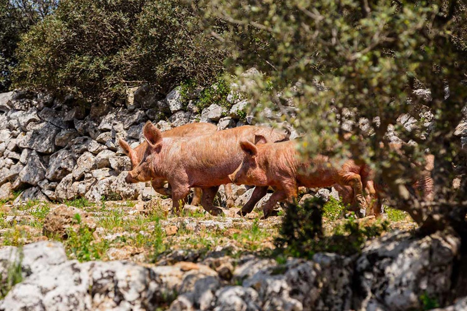 swines grazing in a semi-wild state in Valle d'itria