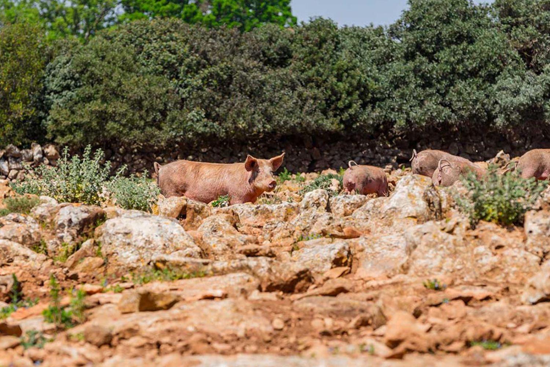 Italian swines